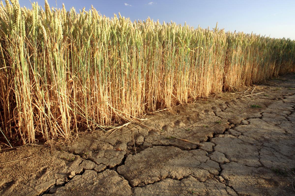 Tørt vejr i vigtigt russisk hvedeområde