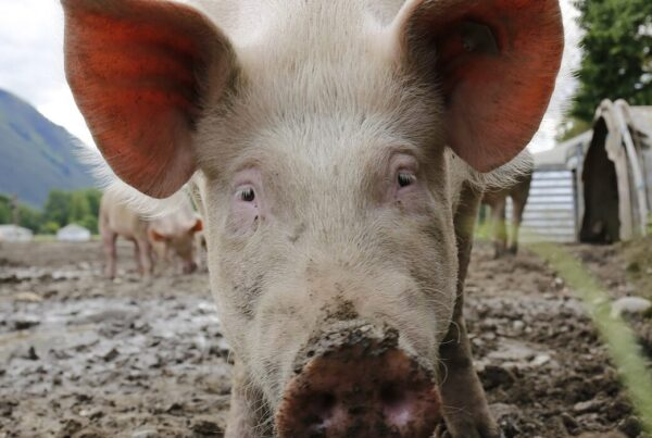 Stor stigning i Kinas svineproduktion